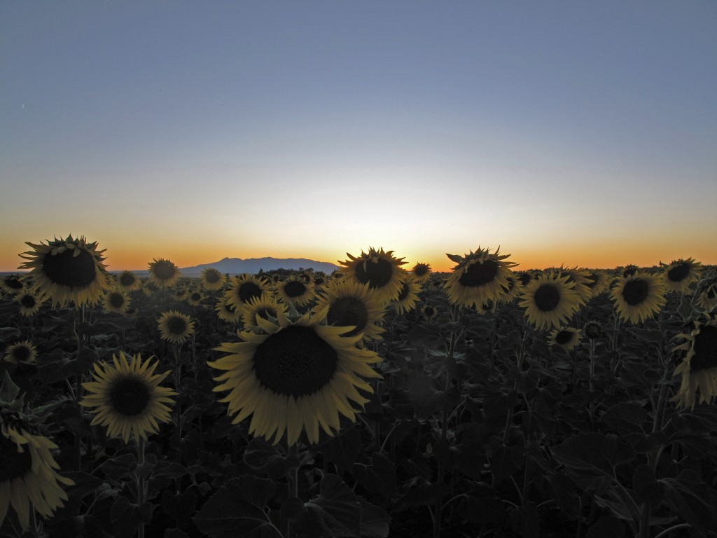 sunflowers-dusk-edited